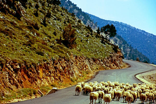 Kreta Schafe-600