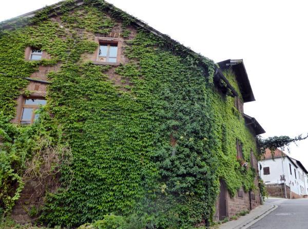 Weinberanktes_Haus_Asselheim_Pfalz_2015_08_19_Foto_Elke_Backert